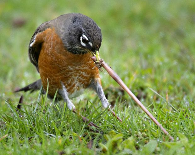 bird-worm-1_2141751i
