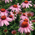 Purple_Coneflower_Seeds