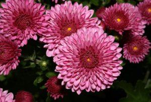 chrysanthemum2a